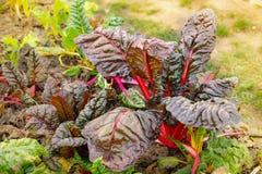 Hem för beta för schweizisk Chard vulgaris - som är fullvuxet och som är organiskt på en odlingslott i en grönsakträdgård i lantl royaltyfria foton