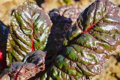 Hem för beta för schweizisk Chard vulgaris - som är fullvuxet och som är organiskt på en odlingslott i en grönsakträdgård i lantl royaltyfri bild