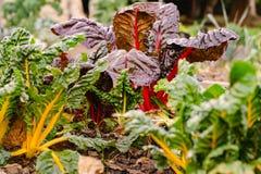 Hem för beta för schweizisk Chard vulgaris - som är fullvuxet och som är organiskt på en odlingslott i en grönsakträdgård i lantl royaltyfria bilder