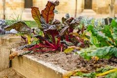 Hem för beta för schweizisk Chard vulgaris - som är fullvuxet och som är organiskt på en odlingslott i en grönsakträdgård i lantl arkivfoton