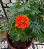 hem för kruka för blommaapelsingräsplan Arkivfoton