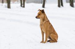 Hem för retur för förlage för blandad avelhund väntande på Arkivfoto