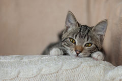 Hem för randig katt för grå färger skämtsamt gulligt Arkivbild