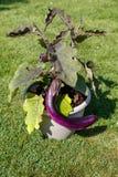 Hem - fullvuxen aubergine Royaltyfria Bilder