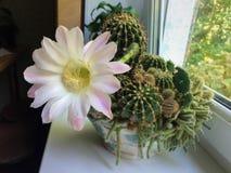 hem- - fullvuxen kaktusblomma som är fullvuxen i en kruka fotografering för bildbyråer