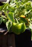 Hem - fullvuxen spansk peppar Arkivbilder