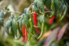 Hem - fullvuxna chili arkivbild