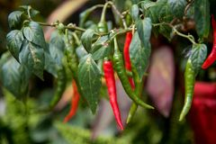 Hem - fullvuxna chili arkivbilder