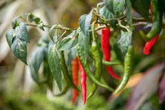 Hem - fullvuxna chili arkivfoton