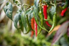 Hem - fullvuxna chili arkivfoto