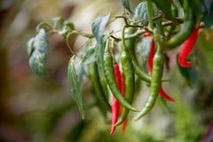 Hem - fullvuxna chili royaltyfria foton