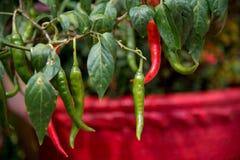 Hem - fullvuxna chili royaltyfria bilder