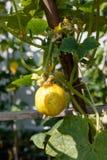 Hem - fullvuxna citrongurkor Fotografering för Bildbyråer