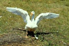 Hem- gåsspridning hans vingar Royaltyfria Foton
