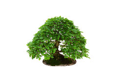 Hem- garnering - avenbokbonsaiträd som isoleras på vit Arkivfoto