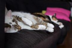 Hem- katter som sover på en soffa Royaltyfria Bilder