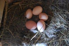 Hem- lantgård Fem fega ägg i ett rede Royaltyfri Fotografi