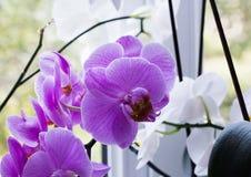 Hem- purpurfärgad orkidé nära fönster Arkivbild