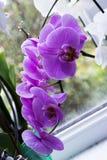 Hem- purpurfärgad orkidé nära fönster Royaltyfri Foto