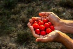 Hem- skörd Cherry Tomatoes Körsbärsröda tomater för skörd i händer arkivbilder