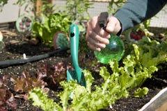Hem- stads- trädgård med grönsallat Arkivfoto