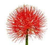 Hemantus Blume getrennt auf Weiß Stockfotos