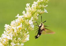 Hemaris diffinis, Snowberry Clearwing moth in flight. Feeding on white Butterfly bush flowers Stock Photography