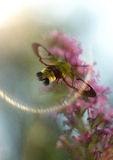 Hemaris fuciformis. Flying at the butterfly bush Royalty Free Stock Images