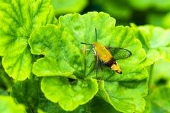 Hemaris fuciformis Sphingidae moth Hawk moth on green leaf. Hemaris fuciformis Sphingidae moth (Hawk moth) on green leaf Royalty Free Stock Images