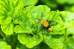 Hemaris fuciformis Sphingidae moth Hawk moth on green leaf Royalty Free Stock Images
