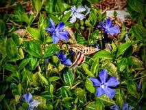 Hemaris thysbe、蜂鸟Clearwing飞蛾或者共同性会集从长春蔓L少校的Clearwing花蜜 更加伟大的荔枝螺 库存照片