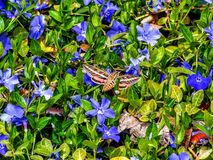 Hemaris thysbe, the Hummingbird Clearwing Moth or Common Clearwing gathering nectar from  Vinca major L. greater periwinkle. Blue flowers in flight Stock Photo