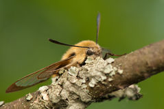 Hemaris Tityus. Beautiful big hairy moth interesting Stock Image