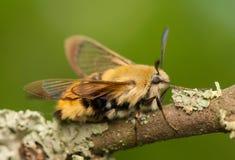 Hemaris Tityus. Beautiful big hairy moth interesting Stock Photography