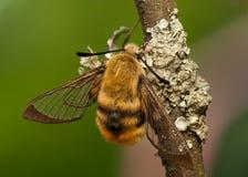 Hemaris Tityus. Beautiful big hairy moth interesting Stock Photos