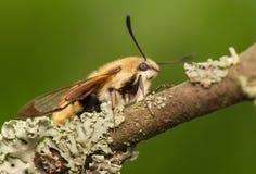 Hemaris Tityus. Beautiful big hairy moth interesting Royalty Free Stock Image