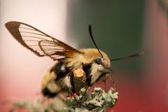 Hemaris Tityus. Beautiful big hairy moth interesting Royalty Free Stock Photos