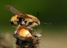 Hemaris Tityus. Beautiful big hairy moth interesting Stock Photo