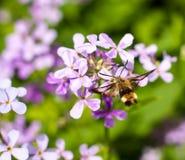 Hemaris tityus. Macroglossum stellatarum, the Narrow-bordered Bee Hummingbird Hawk-moth in flight Stock Image