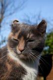 Hematoma aural felino. imagenes de archivo