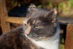 Hematoma aural felino. foto de archivo