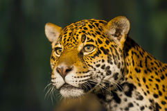 Jaguar femenino Fotografía de archivo libre de regalías