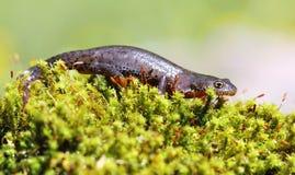 Hembra alpestre del newt en musgo verde imagenes de archivo