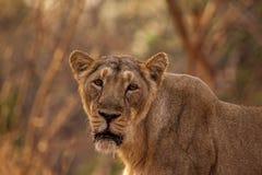 Hembra asiática del león Imagen de archivo libre de regalías
