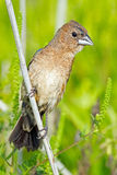 Hembra azul del pájaro Imagen de archivo libre de regalías