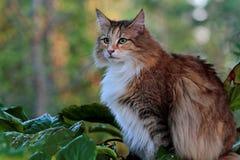 Hembra bastante noruega del gato del bosque en el eveninglight Foto de archivo libre de regalías