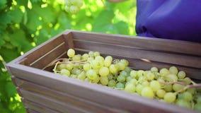 Hembra caucásica en delantal azul y los guantes que cultivan un huerto que cosechan las uvas en viñedo metrajes
