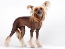 Hembra con cresta china del perro fotografía de archivo libre de regalías