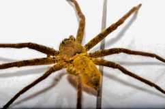 Hembra de la araña de lobo del ruricola de Trochosa Foto de archivo