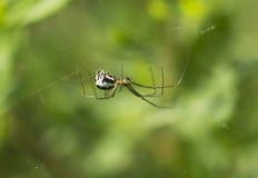 Hembra de la araña (Tetragnathidae) Imágenes de archivo libres de regalías